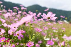 Cosmos flowers in the garden Royalty Free Stock Photo