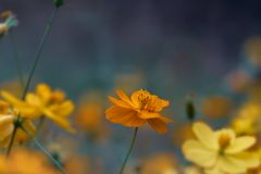 Cosmos flowers in the garden, vintage style.  Royalty Free Stock Photography