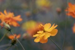 Cosmos flowers in the garden, vintage style.  Royalty Free Stock Photos