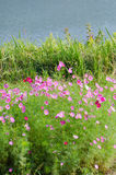Cosmos flowers and grass Royalty Free Stock Images