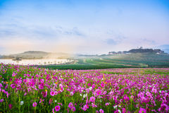 The Cosmos flowers of grassland. Lighting morning Stock Images