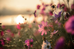 The Cosmos flowers of grassland. Lighting morning Royalty Free Stock Image