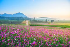 The Cosmos flowers of grassland. Lighting morning Stock Photography