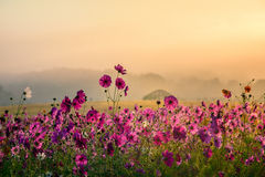The Cosmos flowers of grassland. Lighting morning Royalty Free Stock Photography