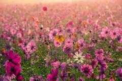 The Cosmos flowers of grassland. Lighting morning Stock Photo