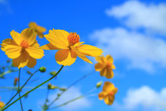 Cosmos flowers group Stock Photography