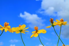 Cosmos flowers group Royalty Free Stock Photos