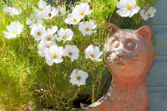 Cosmos flowers growing in a cat container. Clay pot with cosmos flowering plants close up in the summer. British garden Stock Photos