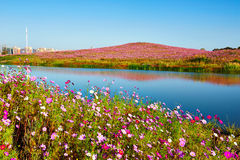 The cosmos flowers hill and blue lake water Royalty Free Stock Photography