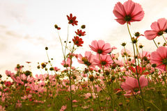 Free Cosmos Flowers In Sunset Stock Photos - 17167253