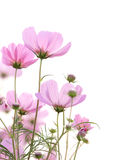 Cosmos flowers isolated on white Stock Image