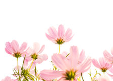Cosmos flowers isolated white background Stock Photography