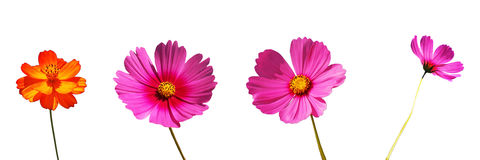 Cosmos flowers isolation Stock Images