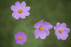 Cosmos flowers macro close up. Stock Photo
