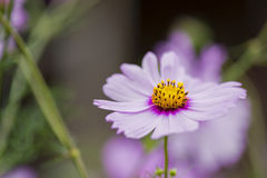 Cosmos flowers macro close up. Stock Photography