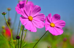 Cosmos flowers. Mexican aster in flowering garden Royalty Free Stock Images