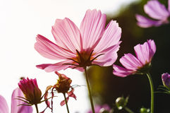 Cosmos flowers in morning. Pink cosmos flowers in morning. ** Note: Shallow depth of field Royalty Free Stock Image