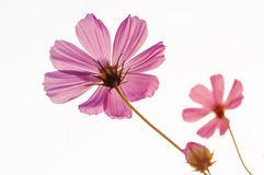 Cosmos flowers in morning. Pink Cosmos flowers on white background Royalty Free Stock Images