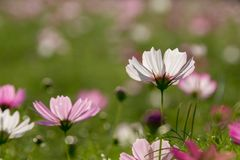 Cosmos flowers. This is flowers.nature cosmos royalty free stock photo