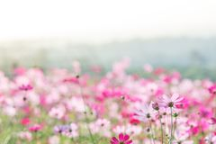Pink Cosmos flowers field, landscape of flowers. royalty free stock image