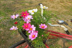 Cosmos flowers on old bicycle Royalty Free Stock Photo