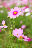 Cosmos flowers in outdoor park stock photos