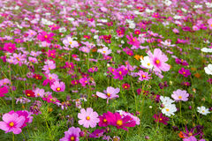 Cosmos flowers in outdoor park Royalty Free Stock Photo