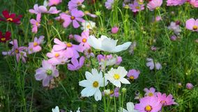 Cosmos flowers. At the park in Kuala Lumpur, Malaysia stock video footage
