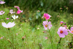 Cosmos flowers. Although peers are not pretty Cosmos flowers but still pretty Stock Photo