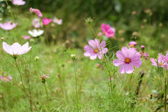 Cosmos flowers. Although peers are not pretty Cosmos flowers but still pretty Royalty Free Stock Photos