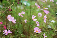 Cosmos flowers. Although peers are not pretty Cosmos flowers but still pretty Royalty Free Stock Images