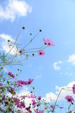 Cosmos flowers pink Stock Photography