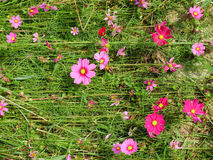 Cosmos flowers Stock Images