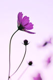 Cosmos flowers purple Royalty Free Stock Photography