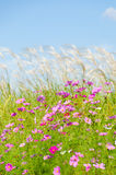 Cosmos flowers and silver grass Royalty Free Stock Images