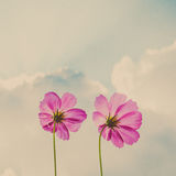 Cosmos flowers on sky and cloud Stock Photo