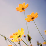 Cosmos flowers and sky Royalty Free Stock Image