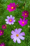 Cosmos Flowers Stunning Scene. Beautiful mangenta and pink cosmos flowers with soft background and cosmos flowers in it. Summer scene with shallow depth of field stock images