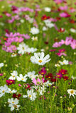 Cosmos flowers in sunset Stock Images