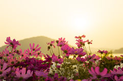 Cosmos flowers in sunset. Background Royalty Free Stock Photos