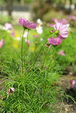 Cosmos flowers in sunset. Flower Stock Images