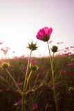 Cosmos flowers in sunset. Cosmos flowers in garden sunset stock photos