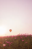Cosmos flowers in sunset. Cosmos flowers in garden sunset royalty free stock photo
