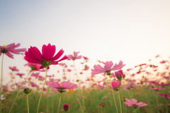 Cosmos flowers in sunset. Cosmos flowers in garden sunset stock image