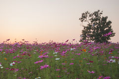 Cosmos flowers in sunset. Cosmos flowers in garden sunset royalty free stock images