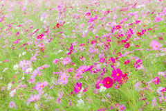 Cosmos flowers swaying in natural field farm, tranquil scene. Stock Photography