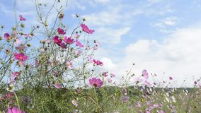 Cosmos flowers swaying stock video footage