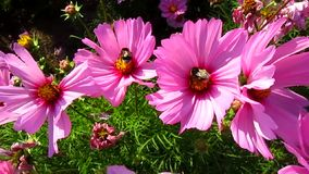 Cosmos flowers and two bumblebees. Beautiful landscape with pink cosmos flowers and insects stock video