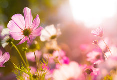 Cosmos flowers under sunlight Stock Photos