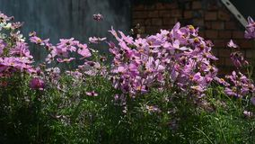 Cosmos flowers. Under sunlight at the park stock video footage